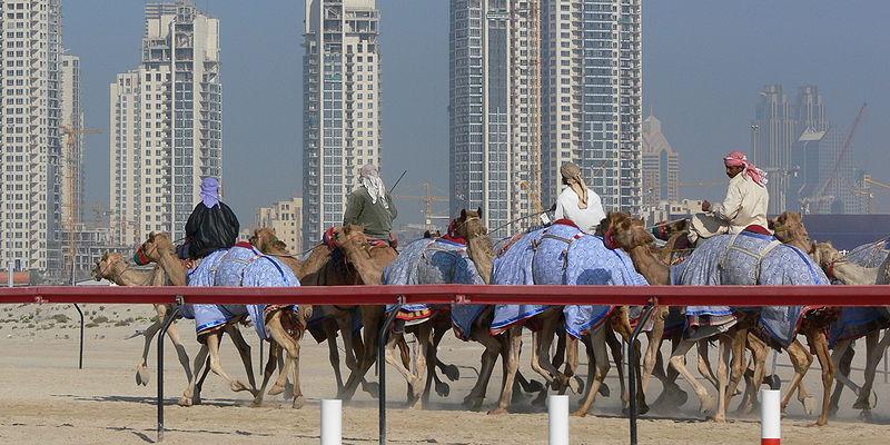 camel race in dubai
